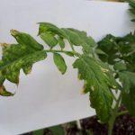 Хлороз томатов - описание, причины, лечение, фото, в теплице