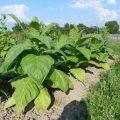 Выращивание табака как бизнес