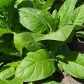 Ориентальные сорта табака - описание и фото