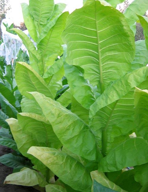 Сорта табака, не требующие искусственной ферментации