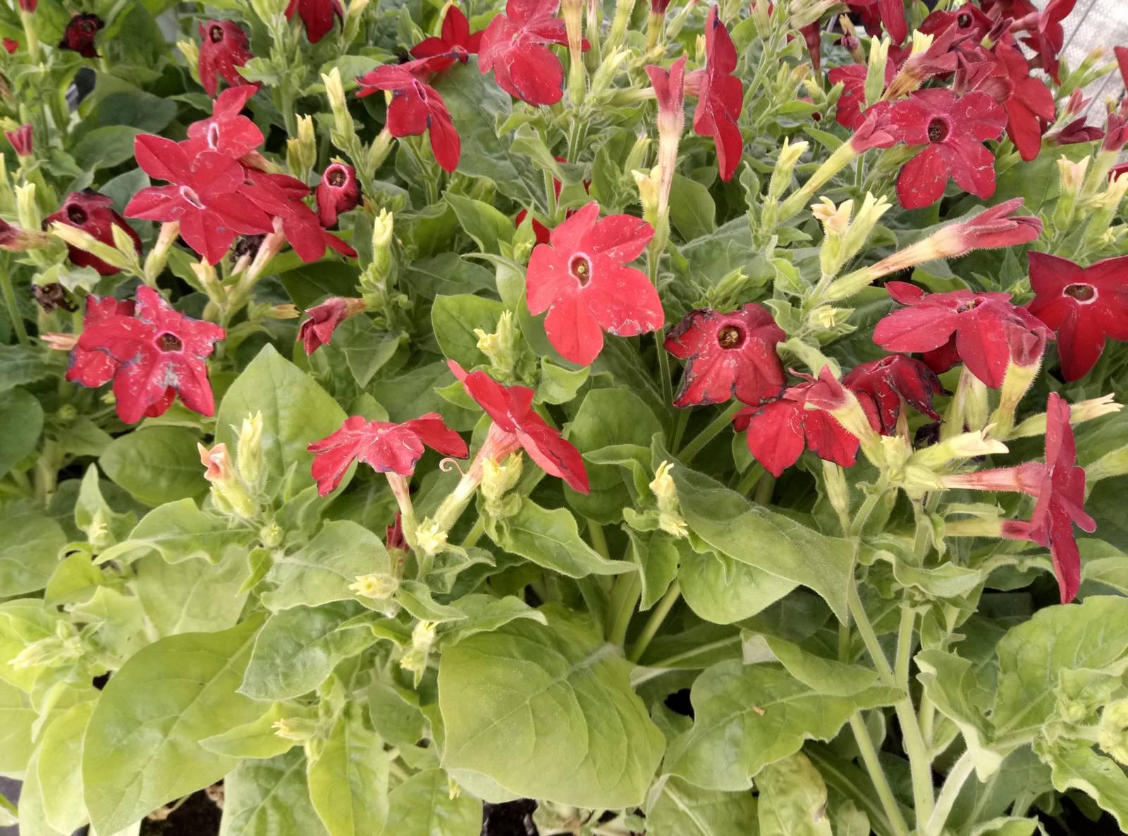 Выращивание душистого табака