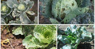 При отсутствии борьбы капустная муха быстро уничтожает урожай